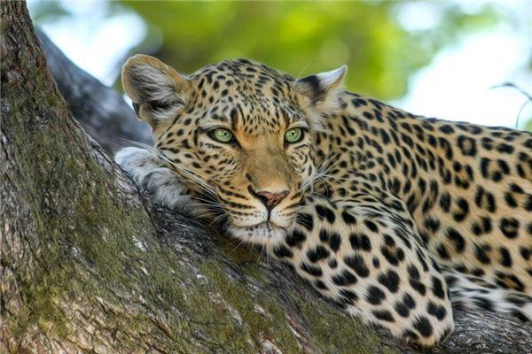 Die Bedeutung und das Symbol des Jaguars im Traum