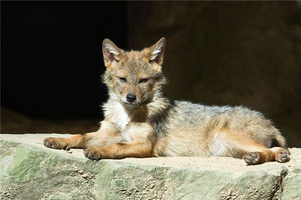 Die Bedeutung und das Symbol des Kojoten in Träumen
