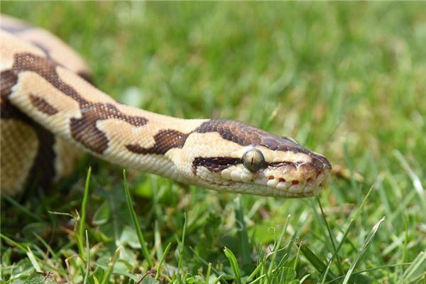 Traumdeutung und Wahrsagerei vieler Schlangen im Haus