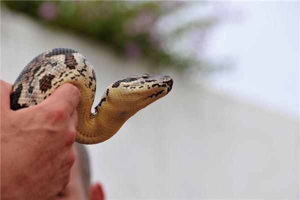Traumdeutung und Wahrsagerei vieler toter Schlangen