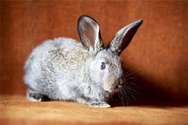 Die Bedeutung und das Symbol des Kaninchens, das im Traum ins Haus rennt