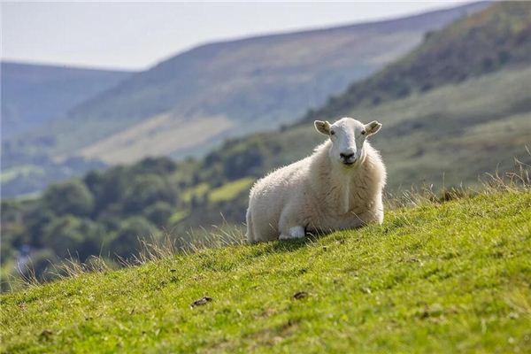Die Bedeutung und das Symbol eines Schafs, das in einem Traum zu Boden fällt