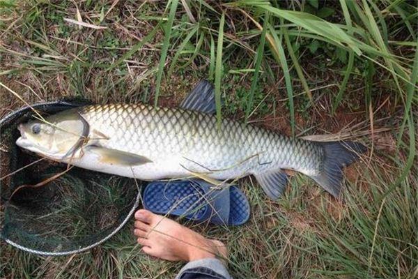 Halten Sie die Traumdeutung und Wahrsagerei des Fisches von Hand