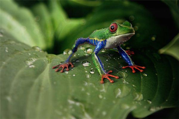 Traumdeutung und Weissagung des schlangenfressenden Frosches