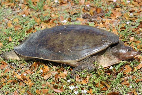 Interpretation und Wahrsagerei von Schildkröten-Träumen