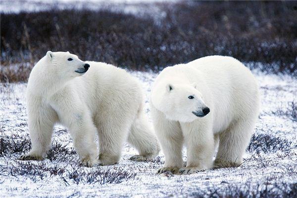 Die Bedeutung und das Symbol von Eisbären in Träumen