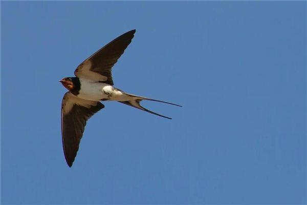 Swallows Traumdeutung und Wahrsagerei