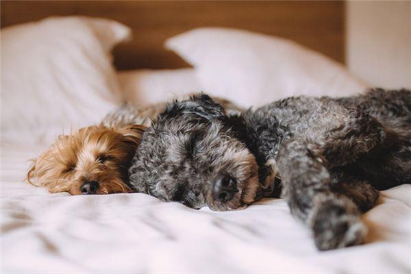 Die Bedeutung und das Symbol der Hundepaarung in Träumen