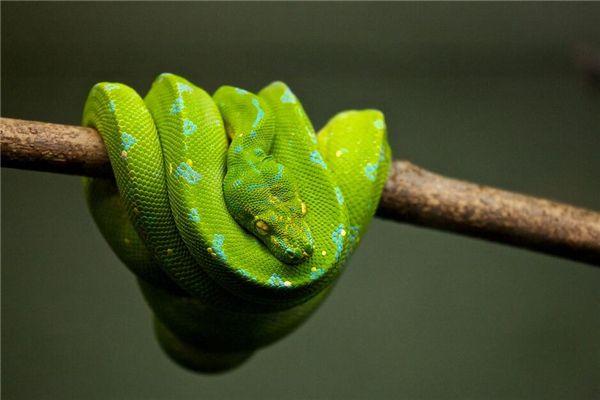 Traumdeutung und Weissagung der großen Python am Baum