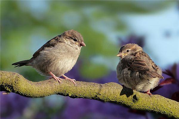 Sparrows Traumdeutung und Wahrsagerei