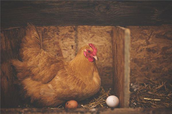 Die Traumdeutung und Wahrsagerei der Henne