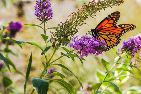 Traumdeutung und Wahrsagerei von Schmetterlingen, die in den Blumen fliegen