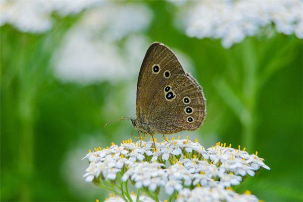 Traumdeutung und Weissagung des Schmetterlings mit gebrochenen Flügeln