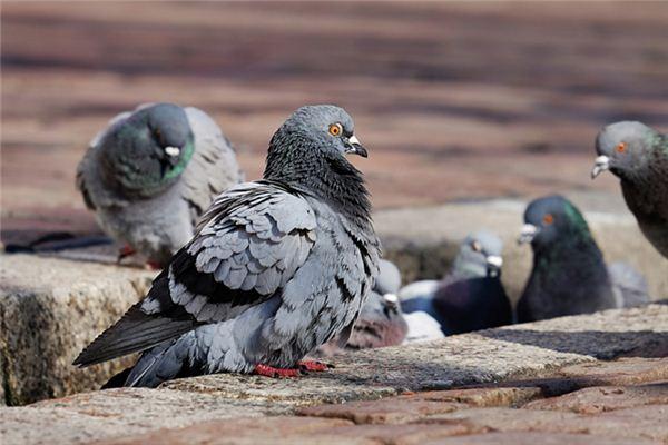 Traumdeutung und Wahrsagerei der Taubenaufzucht
