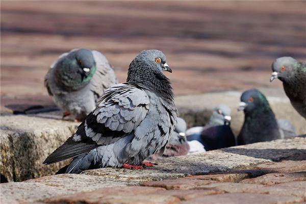 Traumdeutung und Wahrsagerei vieler Tauben