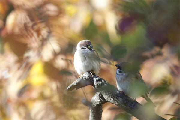 Traumdeutung und Wahrsagerei von Vogelfängern, die Spatzen fangen