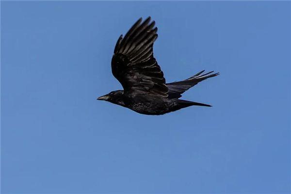 Traumdeutung und Wahrsagerei der im Kreis fliegenden Krähe