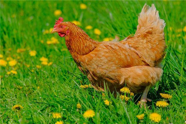 Traumdeutung und Wahrsagerei, eine Henne zu töten