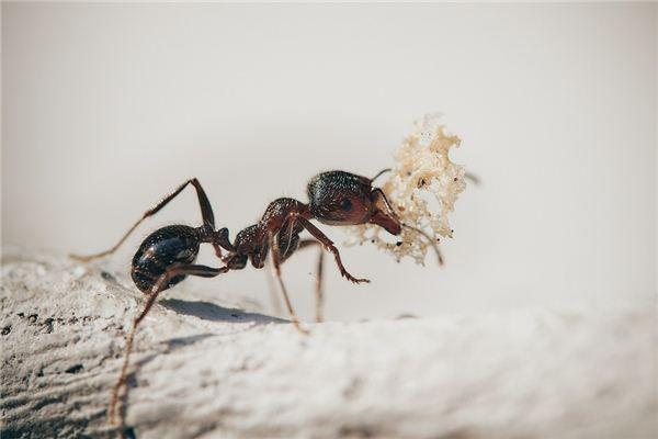 Traumdeutung und Wahrsagerei von Ameisen, die Dinge im Mund halten