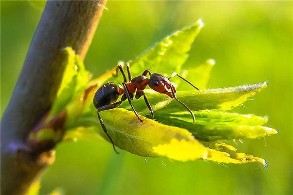 Traumdeutung und Wahrsagerei zweier kämpfender Ameisen