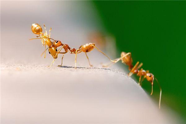 Traumdeutung und Wahrsagerei von Ameisen auf Nahrung