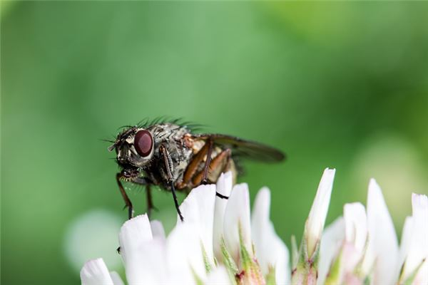 Traumdeutung und Wahrsagerei vieler Fliegen