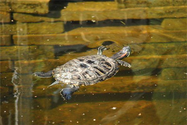 Traumdeutung und Wahrsagerei der im Wasser schwimmenden Schildkröte
