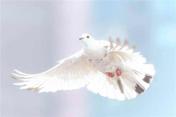 Traumdeutung und Wahrsagerei beim Fangen von Tauben